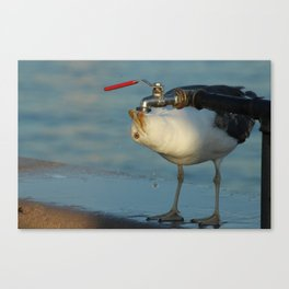 Seagull Bird Drinking from a tap Canvas Print