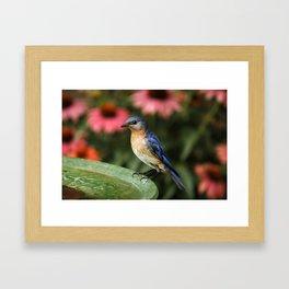Perched Eastern  BlueBird Framed Art Print