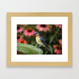 Perched Eastern  BlueBird Framed Art Print