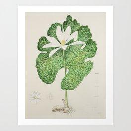 Bloodroot (Sanguinaria canadensis) Art Print