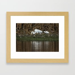 Great and Snowy Egrets, No. 2 Framed Art Print