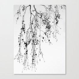 Birch branches hanging Canvas Print