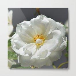 White Rose In Full Sun Metal Print