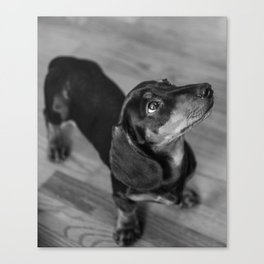 Weenie dog closeup (black and white) Canvas Print