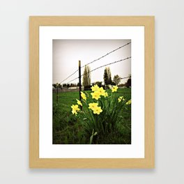Daffodils and barbed wire Framed Art Print