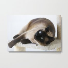 Sulley, A Siamese Cat Metal Print