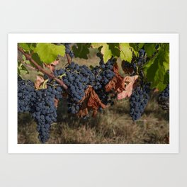 Vineyard Grape Clusters Art Print