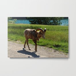 Bighorn Sheep - Banff National Park Metal Print