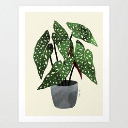 begonia maculata interior plant Art Print
