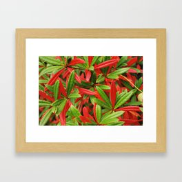berberis plant leaf red and green nature background Framed Art Print