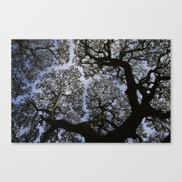 Oak Tree Reaching For The Sky Canvas Print