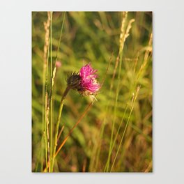 Carduus acanthoides plant, Dolomiti mountains, Italy II Canvas Print
