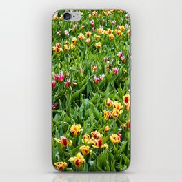 Field with Diagonal Rows of Pink and Yellow Tulips in Amsterdam, Netherlands iPhone Skin