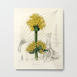 Bitter root (Gentiana lutea) illustration from Medical Botany (1836) by John Stephenson and James Mo Metal Print