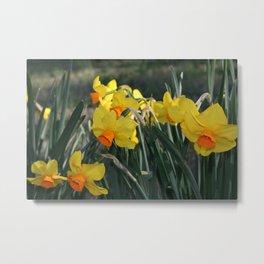 Daffodil 'Triller' Too Metal Print