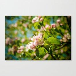 Apple Blossoms (1) Canvas Print