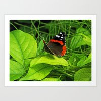 Red Admiral side view Art Print