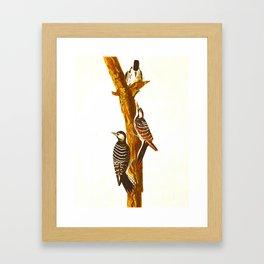 Red-cockaded Woodpecker Framed Art Print