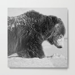 Alaskan Grizzly Bear in Snow, B & W - I Metal Print