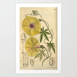 Ipomoea dasysperma 1919 Art Print