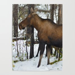 Mother mosse in the snow, Jasper National Park Poster
