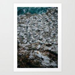 Gannet Colony Art Print