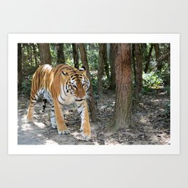 Bengal Tiger On The Prowl Art Print