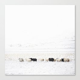 Icelandic Sheep VI Canvas Print