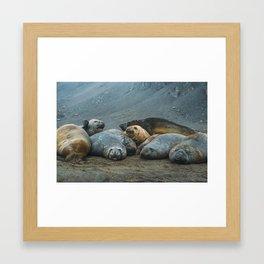 Elephant Seals! Framed Art Print