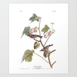Bay breasted warbler, Birds of America, Audubon Plate 69 Art Print