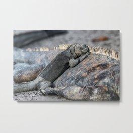 Galapagos baby marine iguana Metal Print