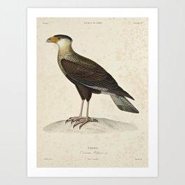 caracara vulgaris7 Art Print