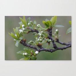 Plum tree flower buds 1 Canvas Print