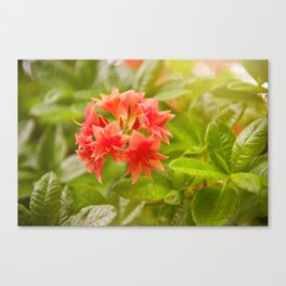 Rhododendron called Azalea red flowers Canvas Print