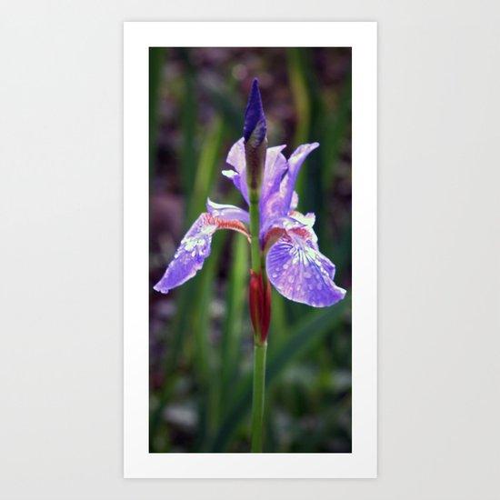 Iris Sibirica Art Print