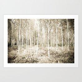 Silver Birch Forest  Art Print