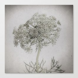 Wild Carrot Flower - Pale Vintage Botanicals Canvas Print
