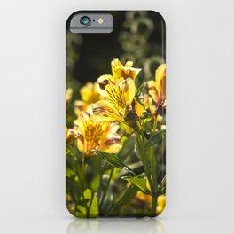 Peruvian Lilies in Sunlight iPhone Case