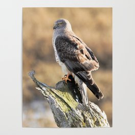 Sunlit Profile of a Northern Harrier Hawk on Driftwood Poster