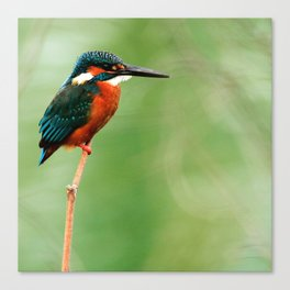KING FISHER Canvas Print
