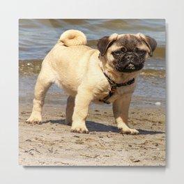 small dog pug baby on water and beach Metal Print
