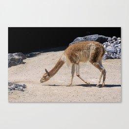 Alpaca the Case Canvas Print