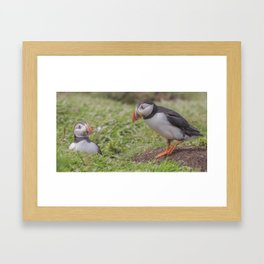 Looking down a Puffin's hole Framed Art Print