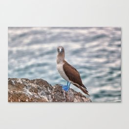 Galapagos blue footed booby bird photography Canvas Print