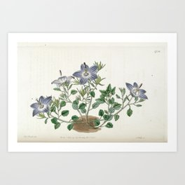 Flower 1738 campanula fragilis hirsuta Hairy leaved brittle Bell flower17 Art Print