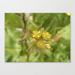 Rorippa Palustris Delicate Pale Mustard Flower Canvas Print