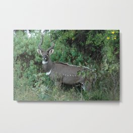 Male Mountain Nyala Antelope Bala Mountains Ethiopia Metal Print