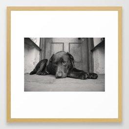 Chocolate Labrador  Framed Art Print