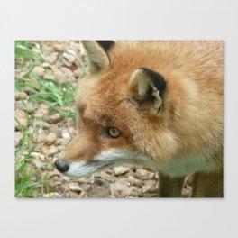 Cunning as a fox Canvas Print