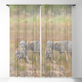 Young Wolfs Running Playing Together On Sheer Curtain